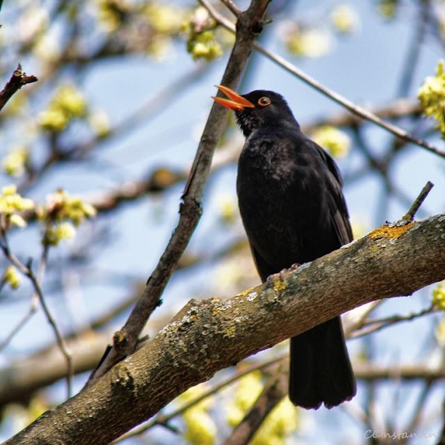 Semne de primãvarã - se face auzită și mierla - blog FOTO-IDEEA