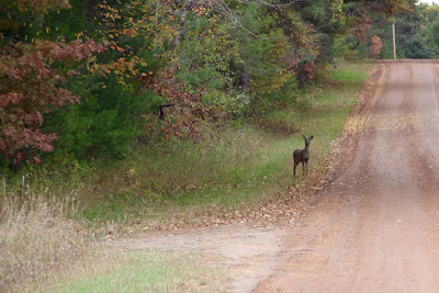 roadside whitetail in Autumn