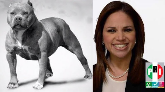 Senadora priista frena legislación para castigar peleas de perros