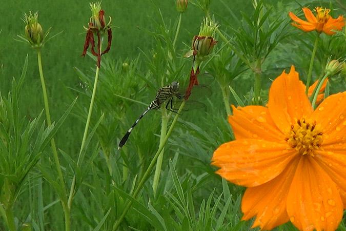 Dlium Green marsh hawk (Orthetrum sabina)