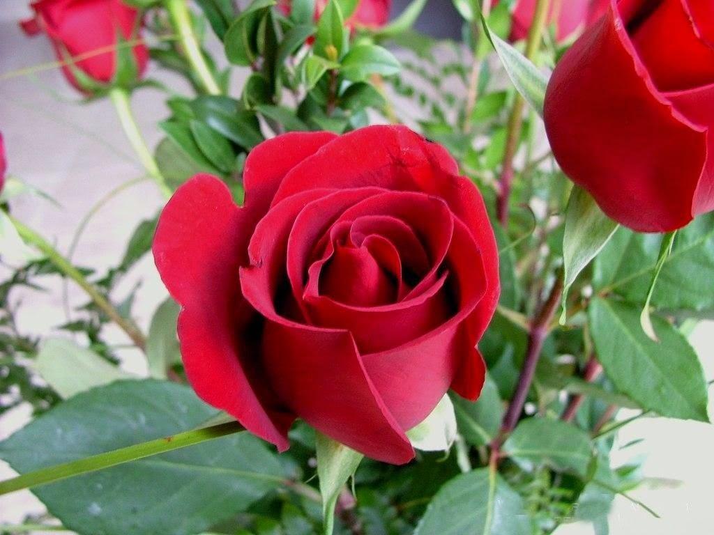 Red rose flower garden wallpaper http refreshrose - Beautiful rose wallpaper ...