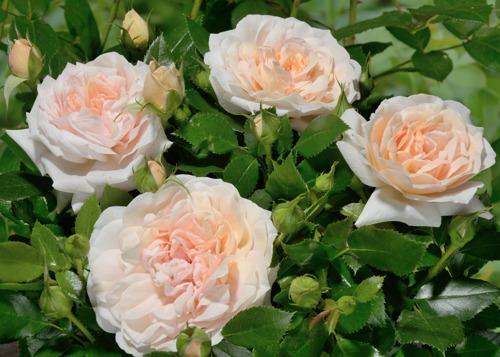 Garden of Roses rose сорт розы фото