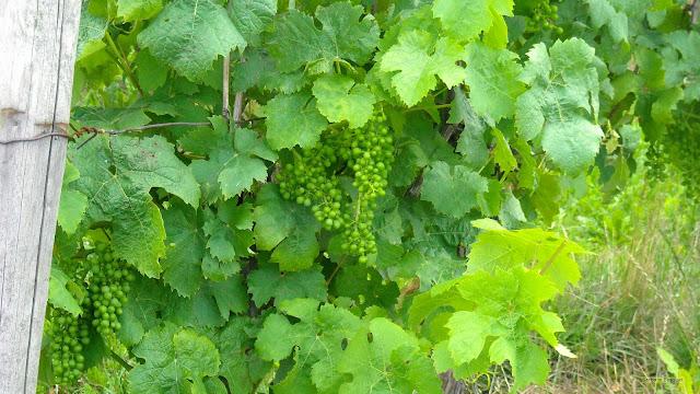 Druiven in wijngaard