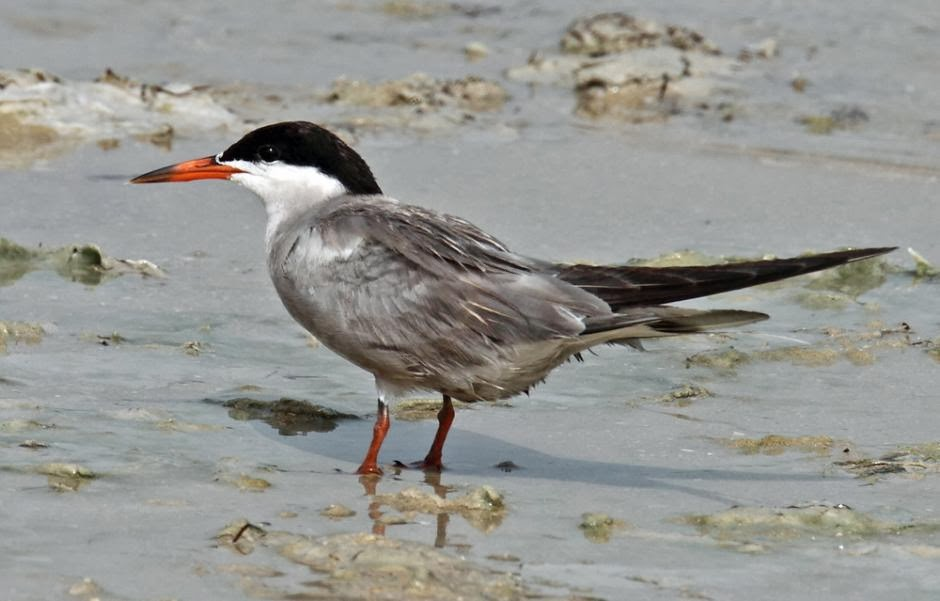 White cheeked tern