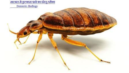 Bed Bugs-खटमल से छुटकारा पाने का तरीका