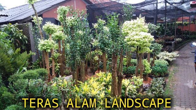 jual pohon bonsai untuk taman cirebon