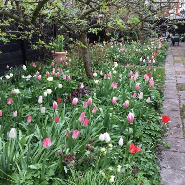 vroege tulpen