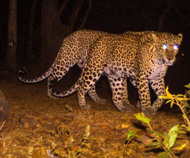 हिमाचल : चलती कार पर झपट पड़े एक साथ तीन तेंदुए, बाप-बेटा घायल