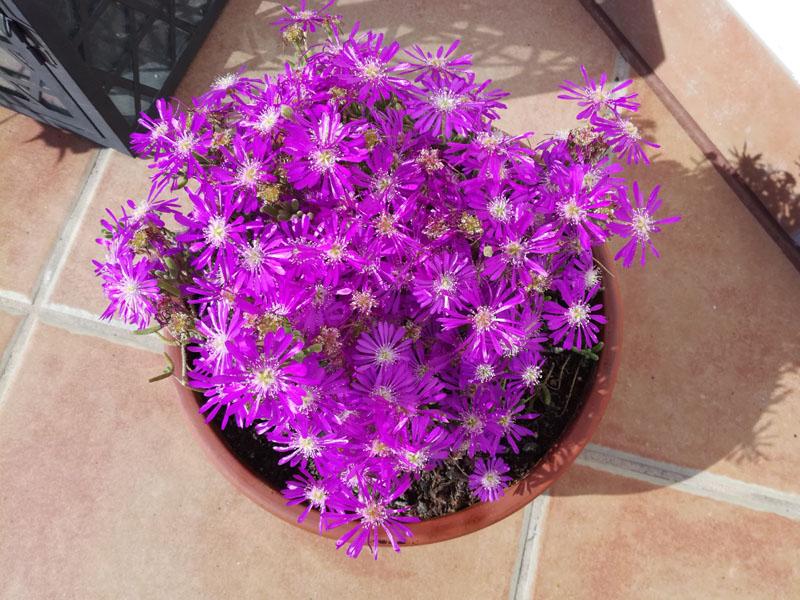 Foto di delosperma in fiore