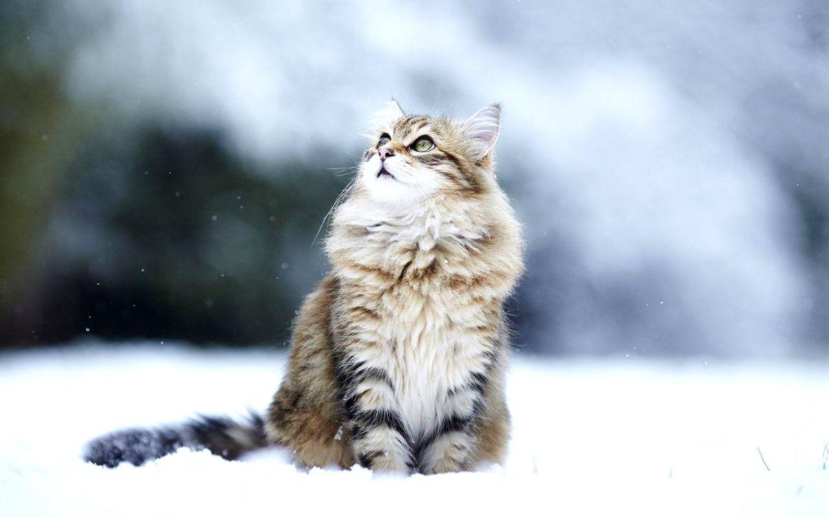 Snow Cat Wallpaper Wallpapers Galery