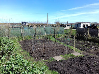 Allotment Crops - Peas