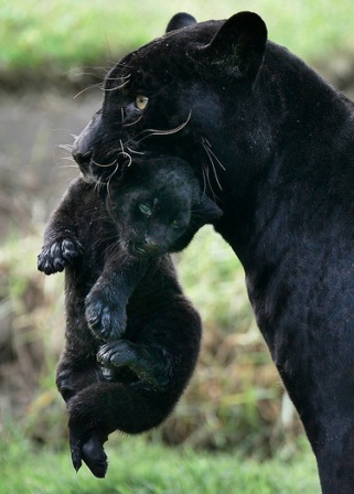 BABIES and Beautiful Mom: BABY BLACK PANTHER - photo#10
