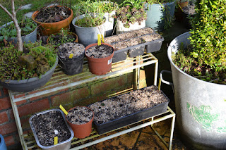 Semis d'hellebores, lupins et géraniums