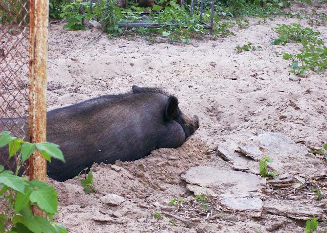 Самарский детский эколого-биологический центр: вьетнамская вислобрюхая свинья