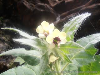 Beleño blanco, (Hyoscyamus albus)