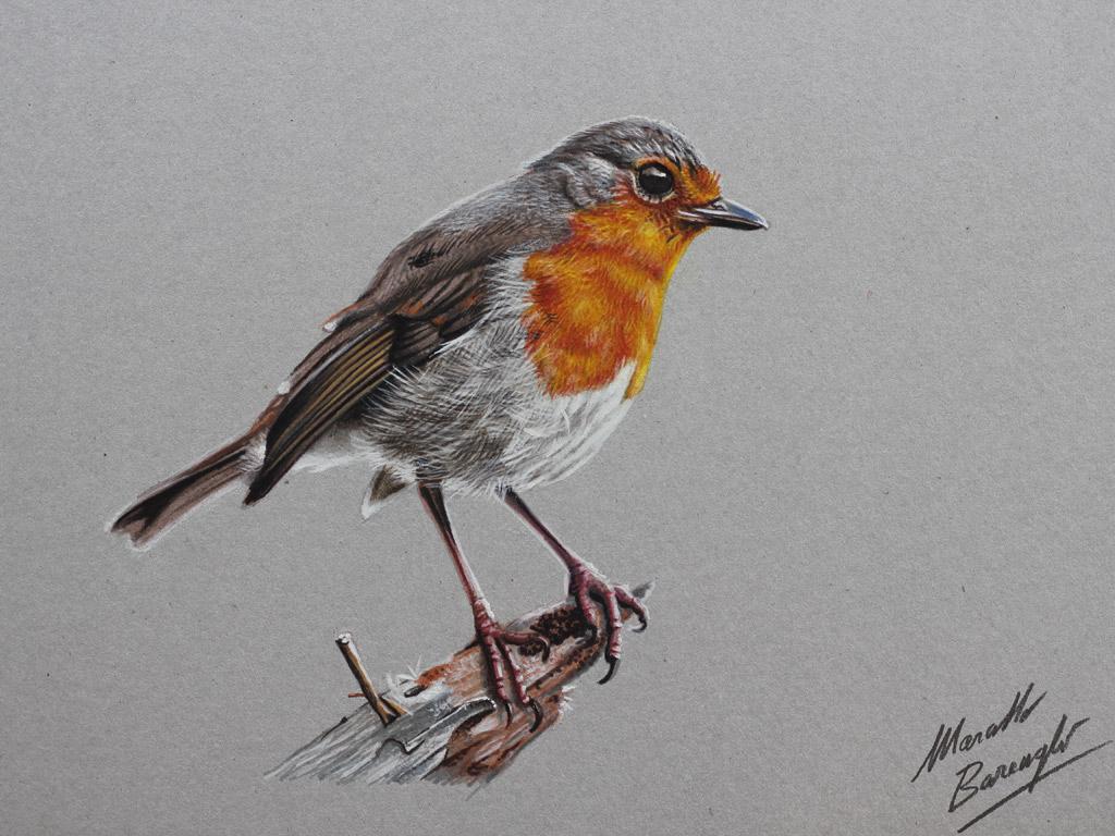 Marcello Barenghi: Drawing a robin bird