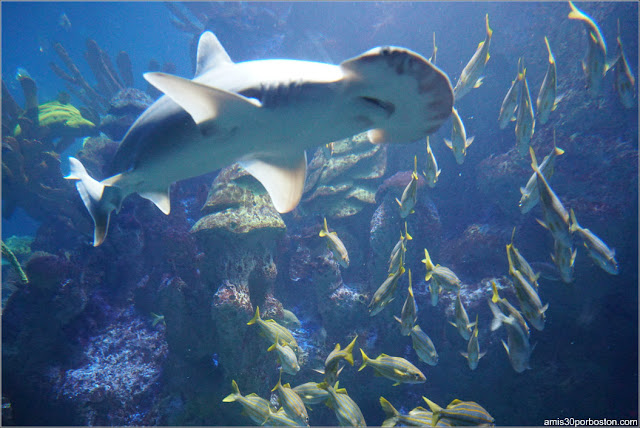 Tiburón Cabeza de Pala en el Acuario de Boston