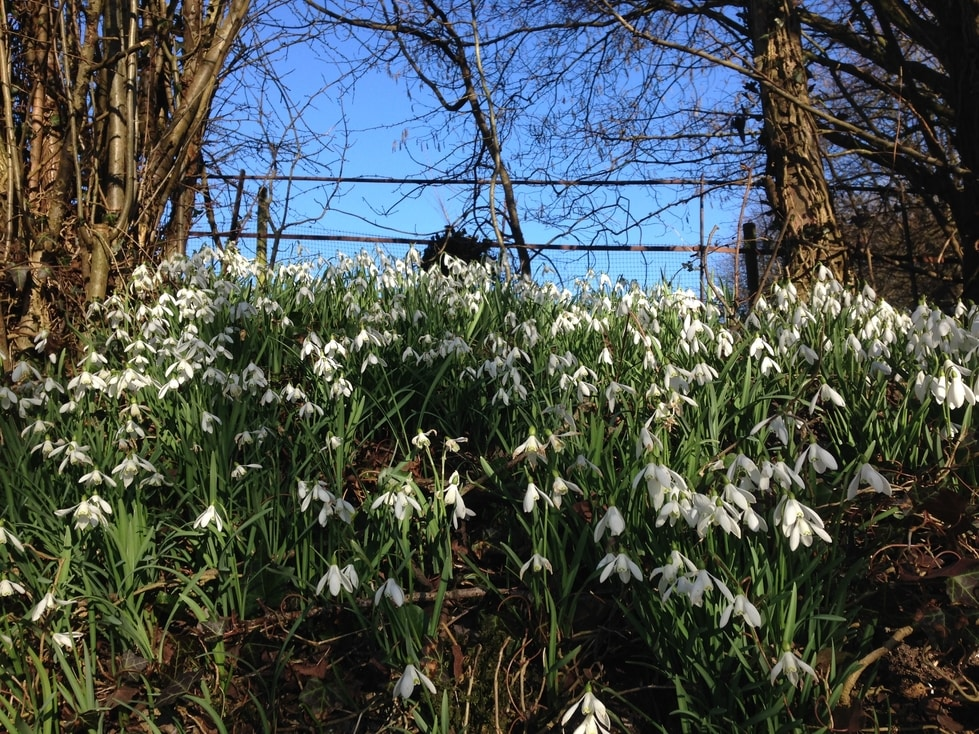 A mass of snowdrops found along a country road