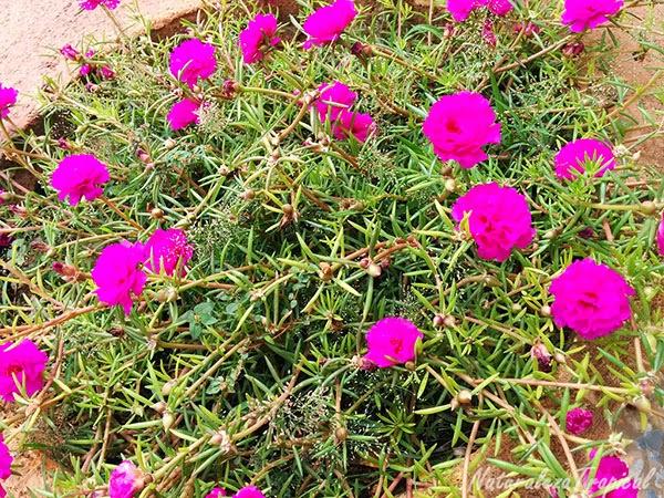Uso en la jardinería de la flor Diez del Día, nombre popular de Portulaca pilosa