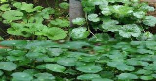 pegagan obat herbal untuk atasi infeksi ginjal