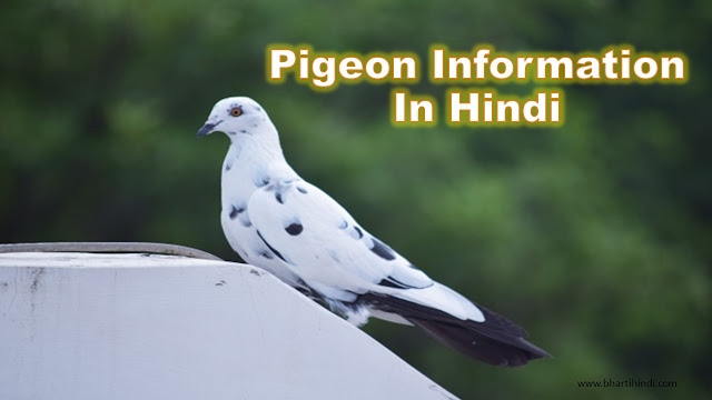Pigeon Information In Hindi