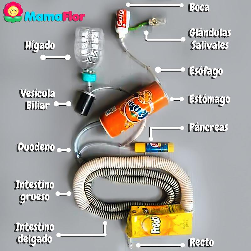 Como hacer la Maqueta del Sistema Digestivo