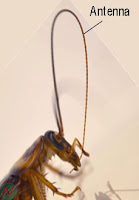 antenna, insect's antenna