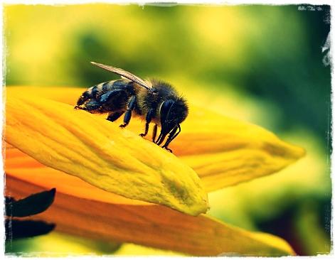 Ciri-Ciri Lebah Madu Tawon
