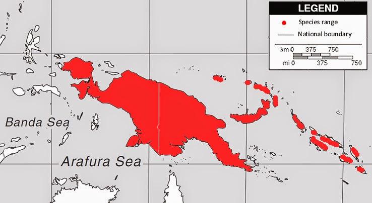 papuan hornbill Rhyticeros plicatus