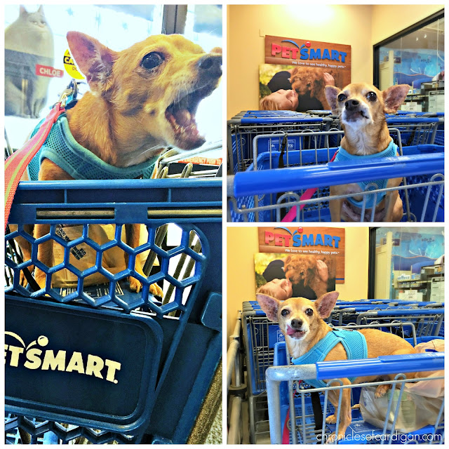 chihuahua in cart at PetSmart store