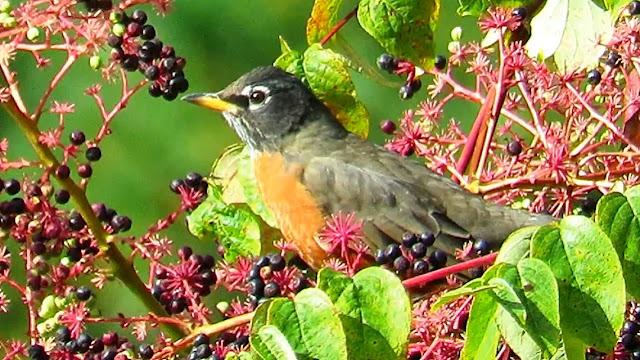 American Robins Feasting on Devil's Walking Stick Berries