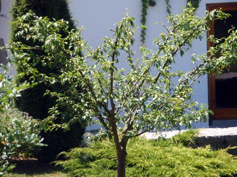La poda en verde de rboles frutales integrados en el jard n for Arbol ciruelo de jardin
