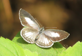 Acytolepis puspa, Common Hedge Blue