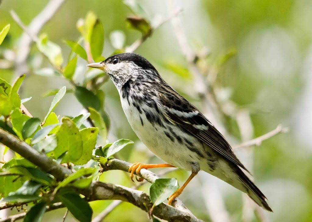 A picture of a blackpoll warbler.