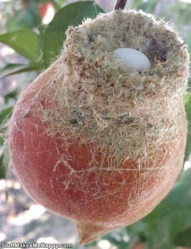 1. Hummingbirds are so small that they can nest on a peach. On the peach!