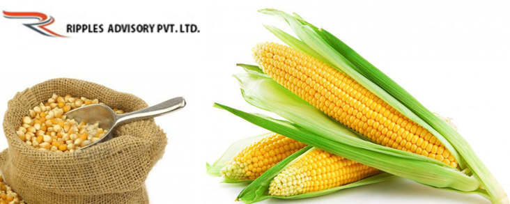 Ripples Commodity Blog: Maize trading range for the day is 1406-1426