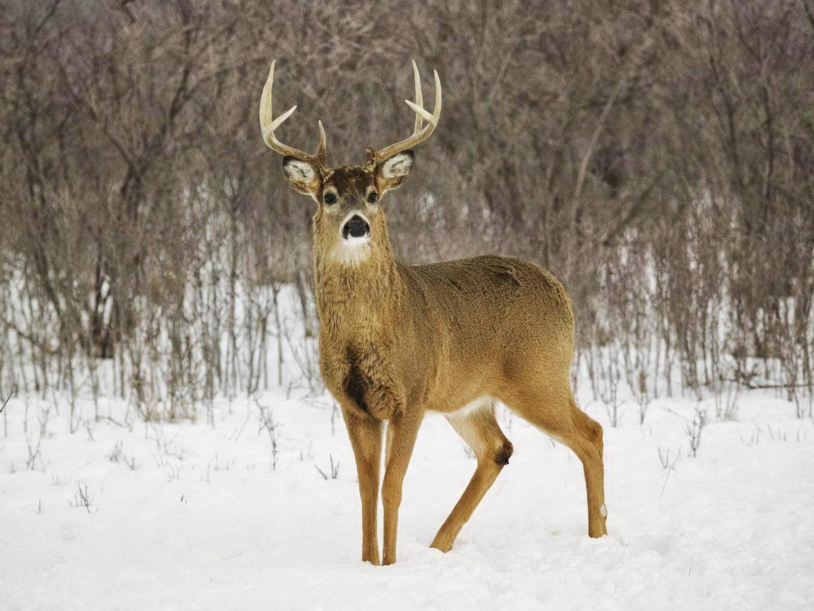 deer wallpaper deer wallpapers and pictures items page zoom