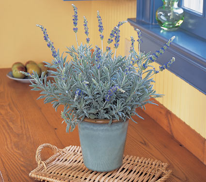 Home And Garden Taking Care Of Lavender Plants