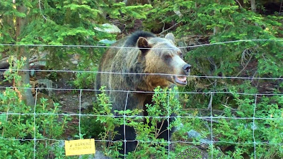 Grizzly bear sniffs along a fenceline