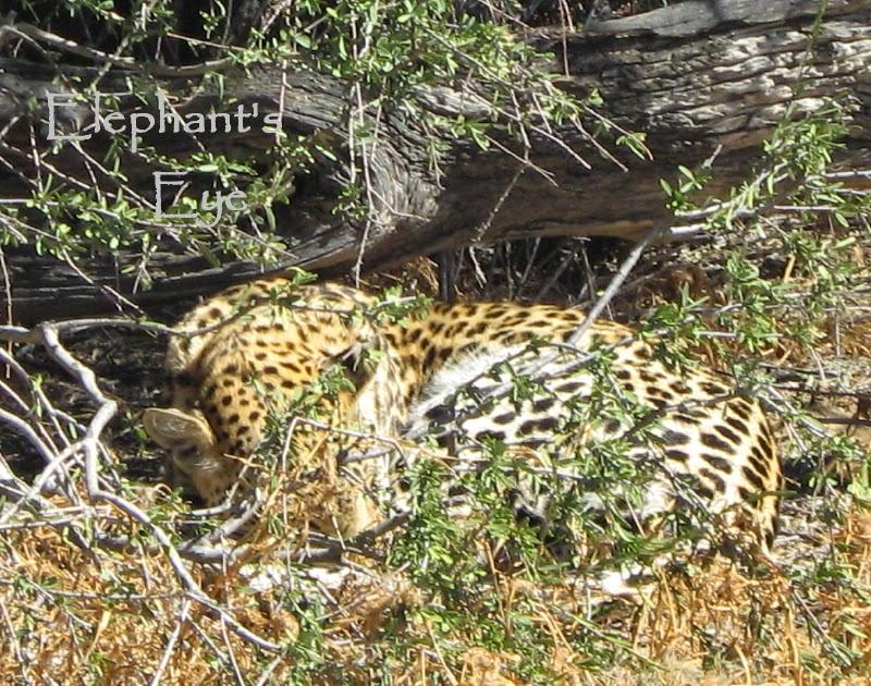 Leopard in the Kgalagadi
