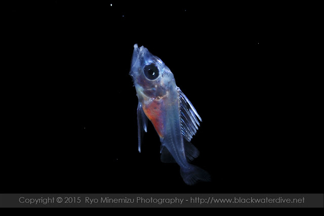 クロタチカマス科(Gempylidae)の稚魚