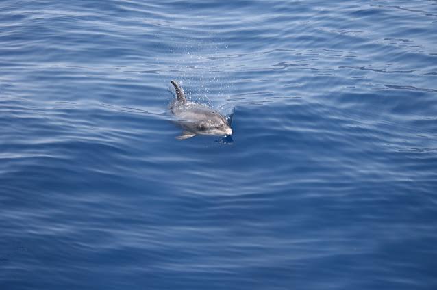 Großer Tümmler - Tursiops truncatus © Canarian Sea 08