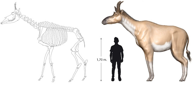 Newly described giraffid species may help trace evolution of giraffe ancestors