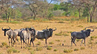 wildebeest pictures