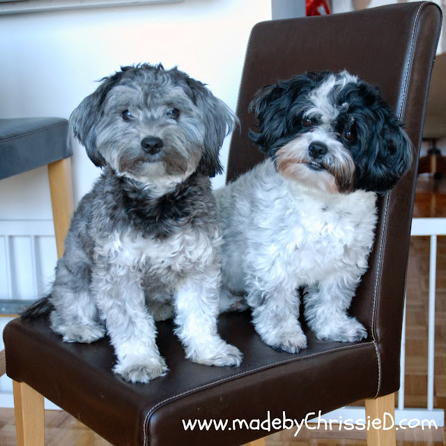 Havanese dogs - photo belongs to www.madebyChrissieD.com