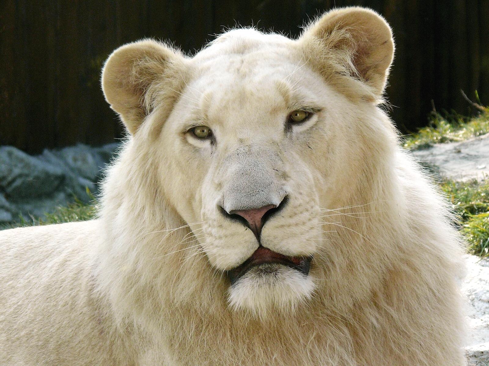 Singa Putih Raja Hutan Yang Langka Gosip Gambar