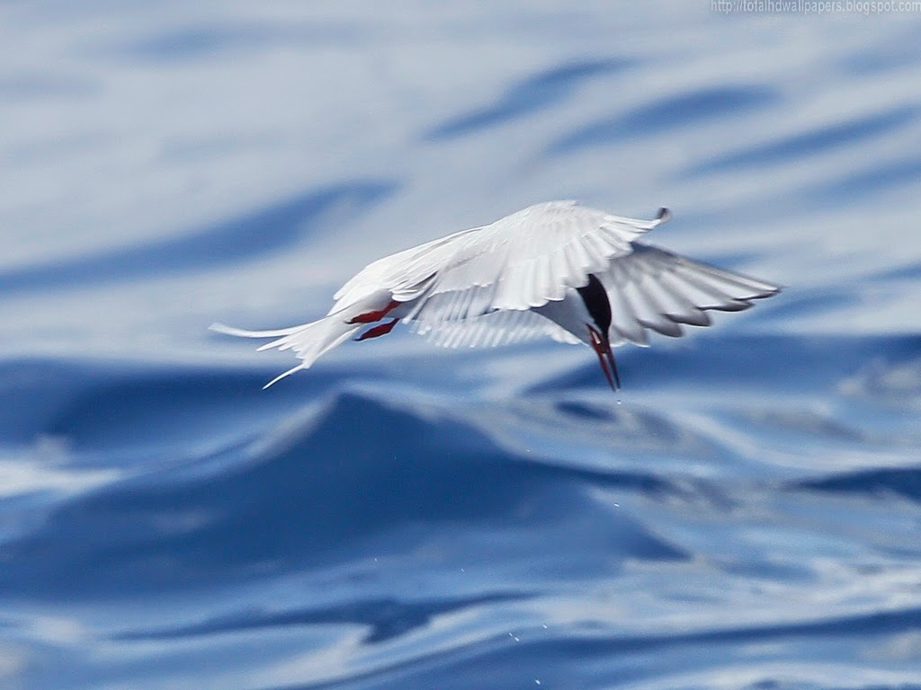 Hd Background Wallpaper 800x600: Beautiful Wallpapers For Desktop: Arctic Tern HD Wallpapers