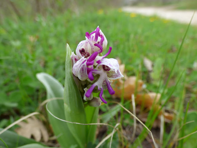 Orhidee salbatica cu forme ciudate - petala om - flori bulgaria