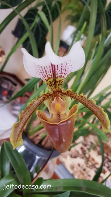 orquidea- sapatinho-orquidea- queixada