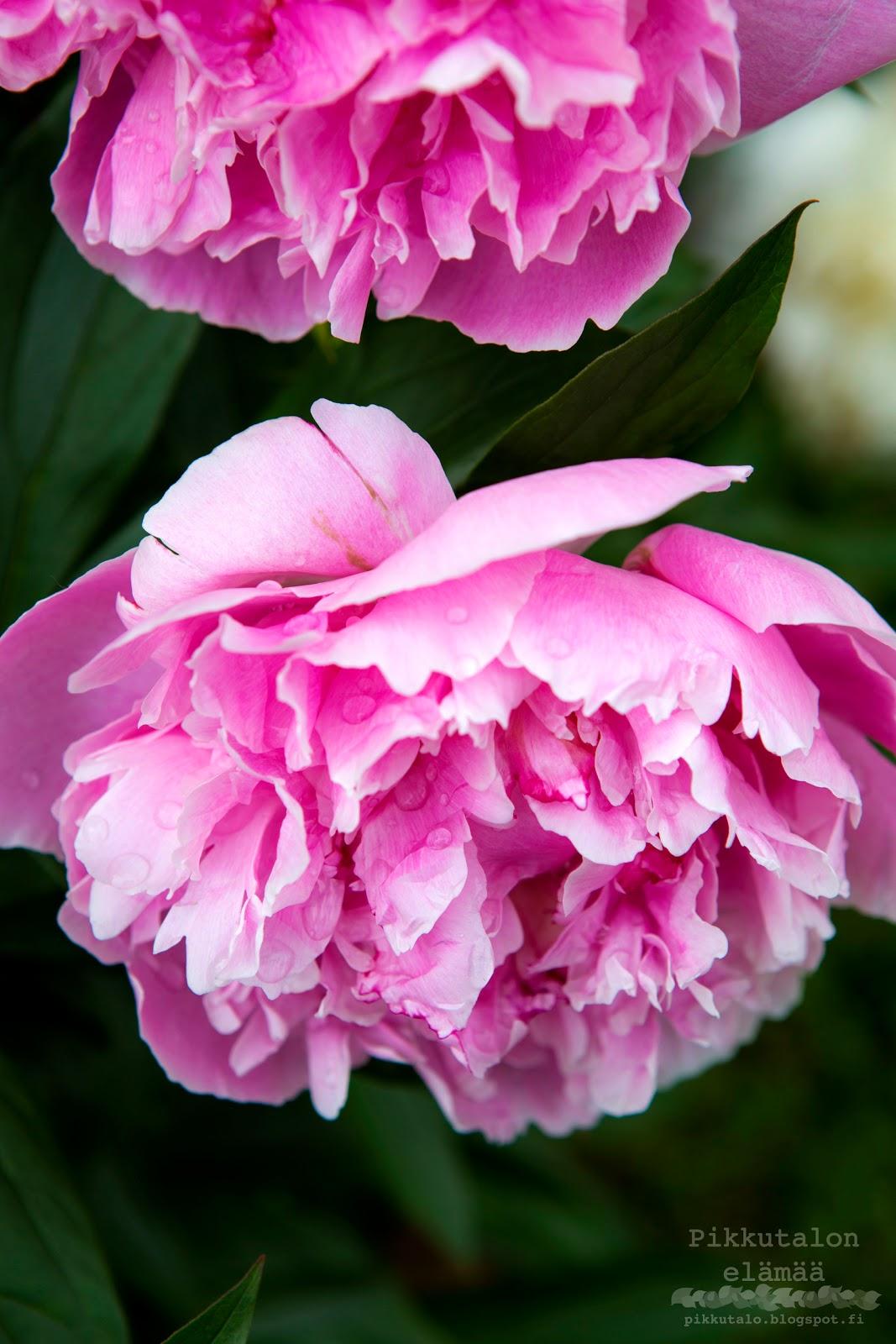 sarah bernard pioni täydessä kukassa